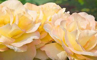 Domke Rose