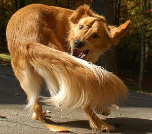Dog_chasing_tail